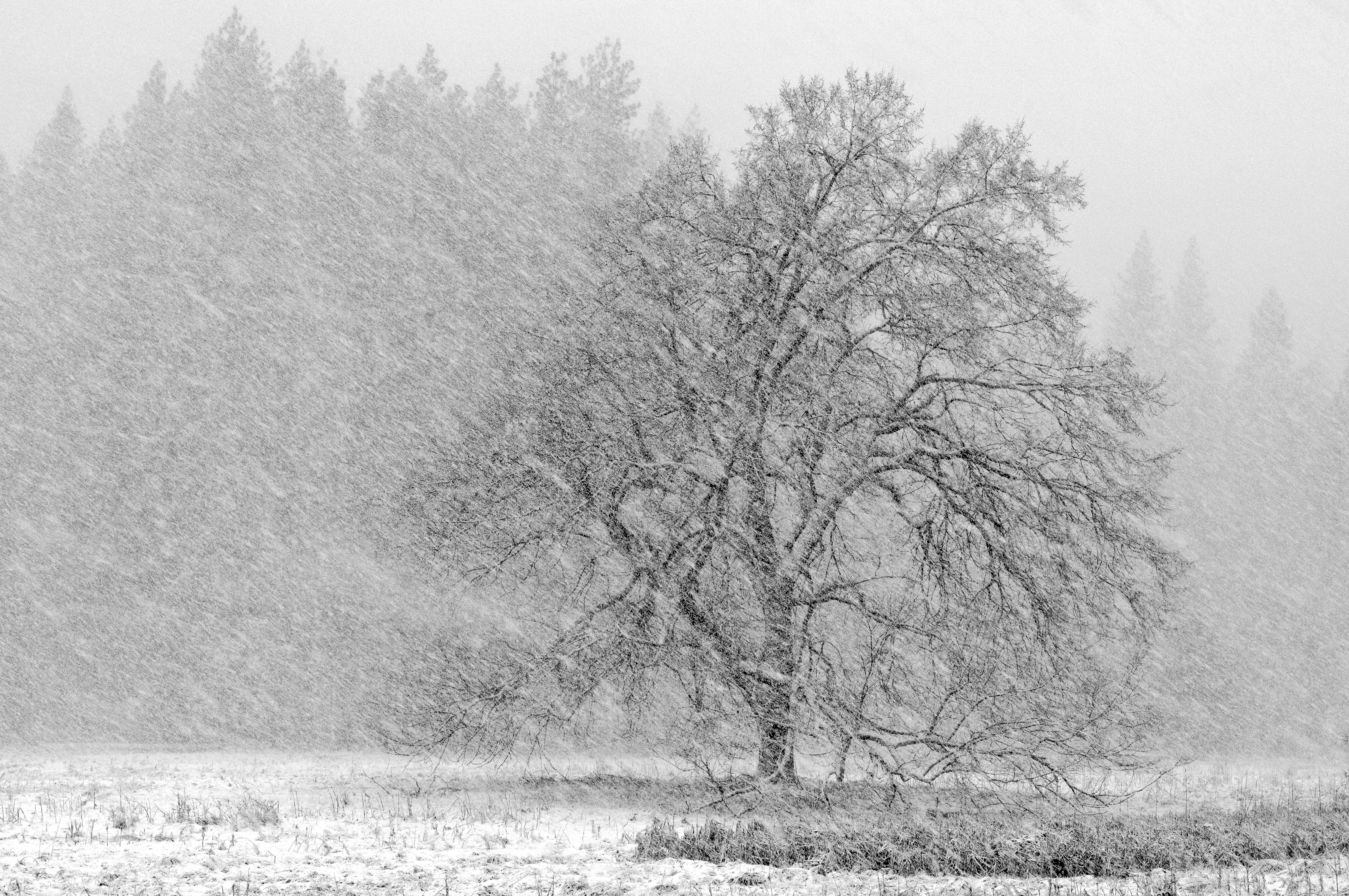 Black Oak In Snowstorm