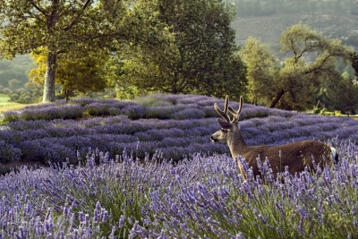 Deer and Lavender