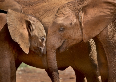 Elephants at David Sheldrick Sanctuary