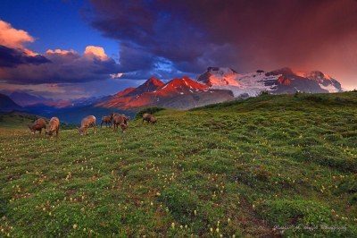 Sunset with Wildflowers and Big Horn Sheep and Mt Anthabaska from Wilcox Pass in Jasper National Park in Canada