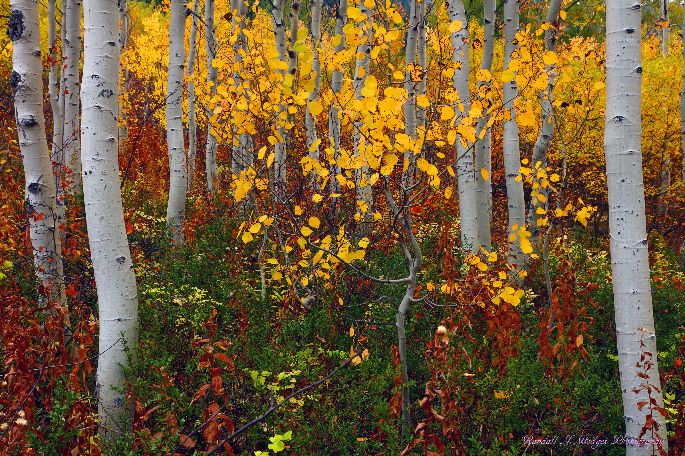 Fall Color and Aspens from the north Cascade Mountains of Washington