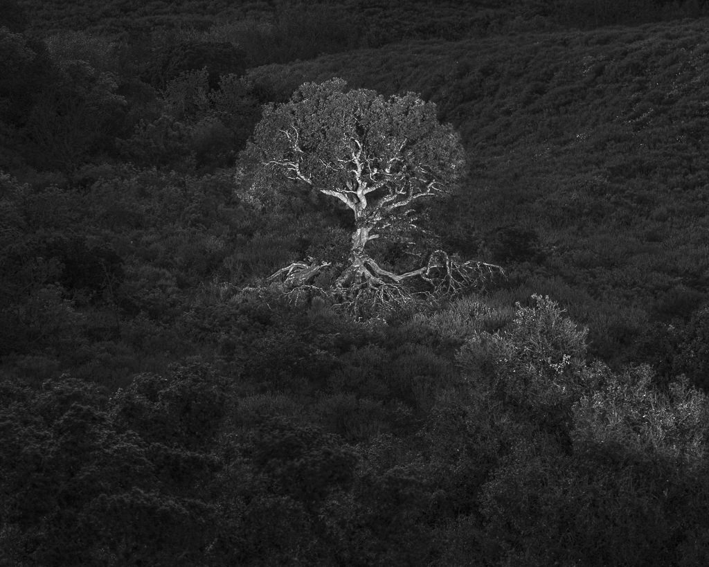 Oak Tree in Light