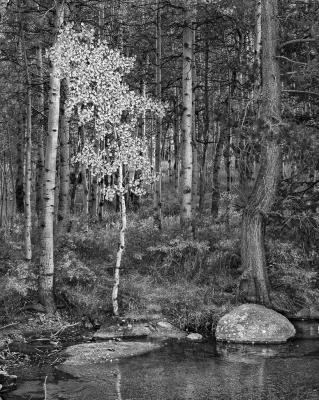 Bishop Creek Aspen, Autumn