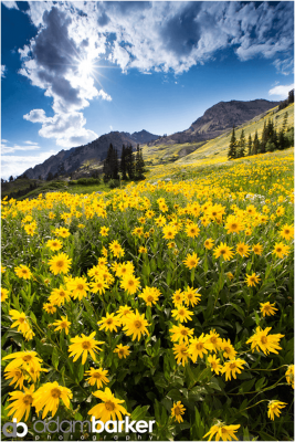 Photo of Sunflowers in a Valley