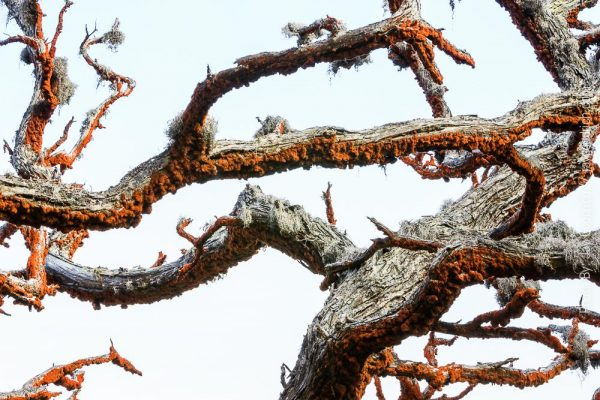 Lines Branches Moss Lobos California