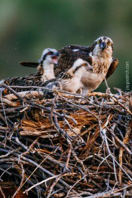 Nest Osprey Chicks Motion Blurry